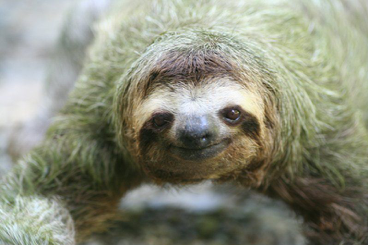 Sloth with algae in its coat: Picture:Thowra_uk/Flickr. Posted on https://metro.co.uk